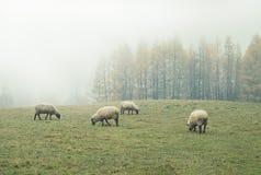 Овцы в тумане рано утром на выгоне Стоковое Изображение
