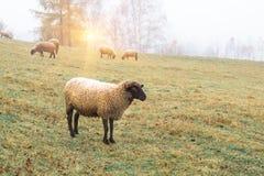 Овцы в тумане рано утром на выгоне Стоковые Изображения RF