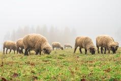 Овцы в тумане рано утром на выгоне Стоковые Фото