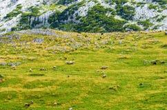 Овцы в луге в горах Стоковое Изображение