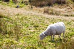 Овцы в лужке Стоковое Фото