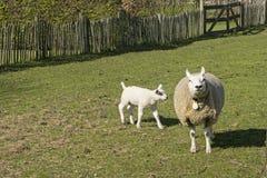 Овцы в лужке Стоковые Изображения
