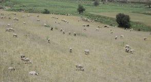 Овцы в лужке Стоковые Изображения RF