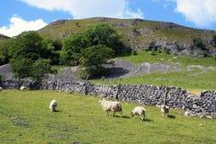 Овцы в участках земли Йоркшира Стоковая Фотография RF