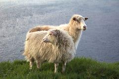 Овцы в Фарерских островах Стоковые Фото