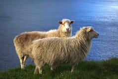 Овцы в Фарерских островах Стоковая Фотография