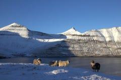 Овцы в Фарерских островах Стоковое Изображение