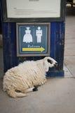 Овцы в ферме Стоковое Изображение