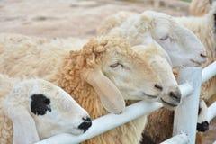 Овцы в ферме Стоковое Фото