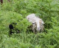Овцы в чаще травы Овца жует траву Стоковые Фотографии RF