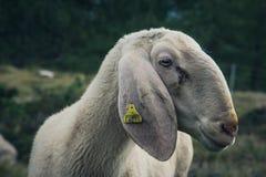 Овцы в Cinque Torri, ` Ampezzo Cortina d, доломитах, Италии стоковые фото