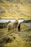 Овцы в Saksun Стоковые Изображения