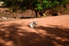 Овцы Гвинеи-Бисау, острова Bubaque на красном песке Стоковое фото RF