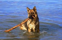 овцы Германии собаки влажные Стоковое Фото