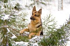 овцы Германии собаки Стоковое Изображение