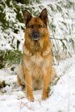 овцы Германии собаки Стоковые Фото