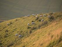 Овцы горного склона Стоковое Изображение RF
