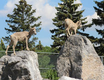 Овцы горы на утесах готовых для того чтобы поскакать Стоковая Фотография
