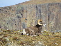Овцы горы скалистых гор стоковые изображения