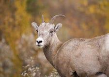 овцы горы bighorn утесистые стоковое изображение
