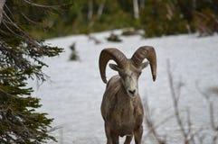 овцы горы bighorn утесистые Стоковые Изображения