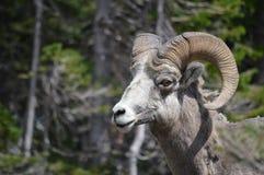 овцы горы bighorn утесистые Стоковое Фото