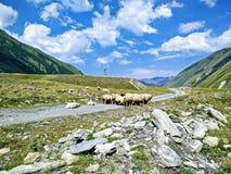 овцы гор табуна предпосылки Стоковые Изображения RF