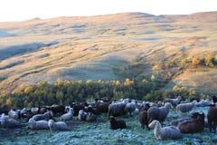 овцы гор Стоковое Изображение RF