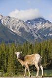 овцы гор bighorn утесистые Стоковое фото RF