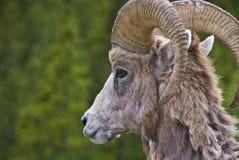 овцы гор bighorn утесистые стоковое изображение