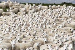 Овцы готовые для того чтобы быть стриженый Стоковое Фото