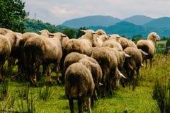 Овцы двигая к более зеленой стороне стоковое фото rf