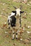 Овцы Джейкоба Стоковые Изображения