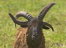 Овцы Джейкоба Стоковые Фото