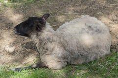 Овцы лежа на том основании в зоопарке Финляндии открытом Стоковые Фото