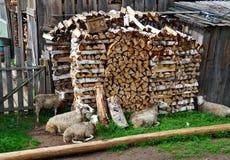 Овцы деревни ледовитый Лапландии природы русский северно стоковые фотографии rf