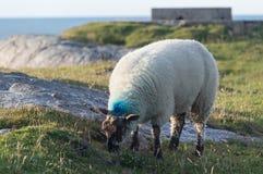 Овцы есть на траве стоковые изображения rf