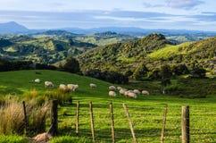 Овцы есть траву на горах Стоковая Фотография