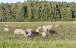 Овцы едят на поле травы Стоковая Фотография RF