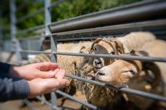 Овцы женщины подавая на ферме Стоковое фото RF