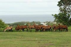 Овцы живота черноты Барбадос Стоковые Изображения