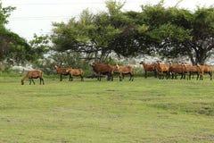 Овцы живота черноты Брайна Барбадос Стоковые Фото