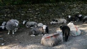 Овцы ждать терпеливо стеной, широкоэкранной Стоковые Фотографии RF