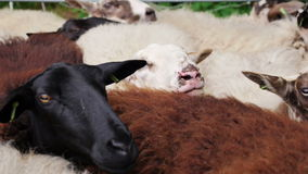 Овцы ждать для того чтобы быть стриженый сток-видео