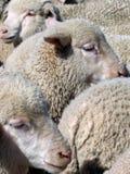 Овцы закрывают вверх  Стоковое Изображение