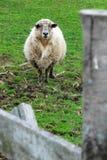 Овцы за загородкой Стоковое Фото