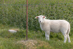 Овцы за решеткой Стоковые Изображения RF