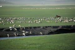 Овцы злаковика берега реки племен Khan золотой орды Mergel монгольские, лошади, скотины Стоковая Фотография RF