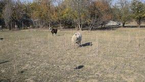 Овцы идут выгон в выгоне и пасут flock овцы видеоматериал