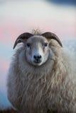 овцы Исландии стоковая фотография